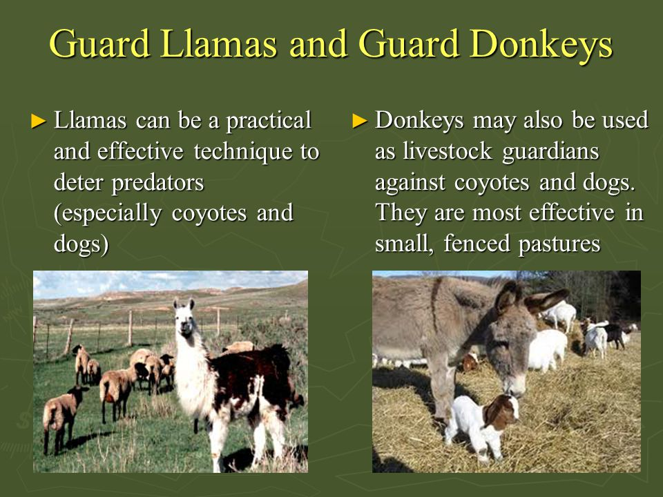 Guard Llamas and Guard Donkeys