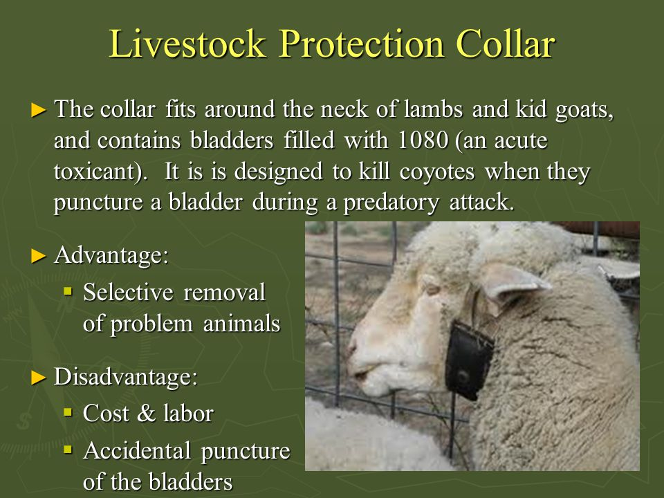 Livestock Protection Collar