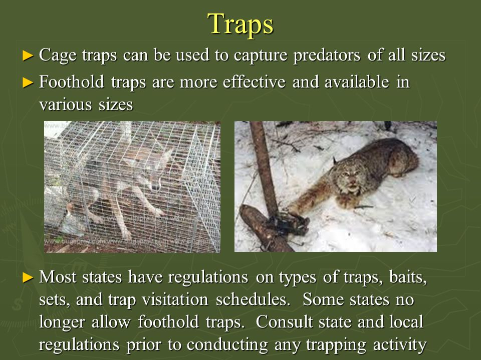 Traps Cage traps can be used to capture predators of all sizes