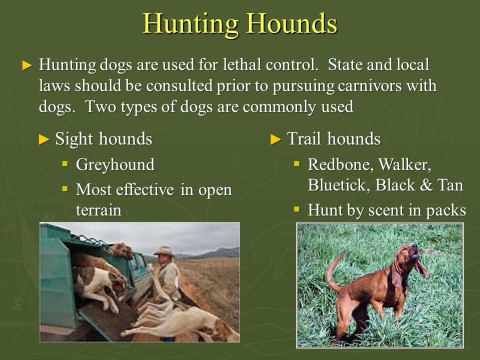 Hunting Hounds Sight hounds Trail hounds