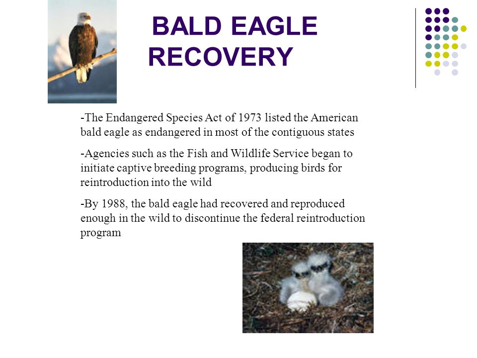 BALD EAGLE RECOVERY -The Endangered Species Act of 1973 listed the American bald eagle as endangered in most of the contiguous states.