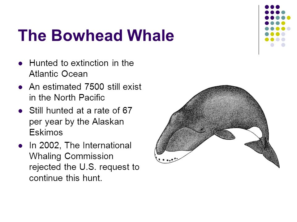 The Bowhead Whale Hunted to extinction in the Atlantic Ocean