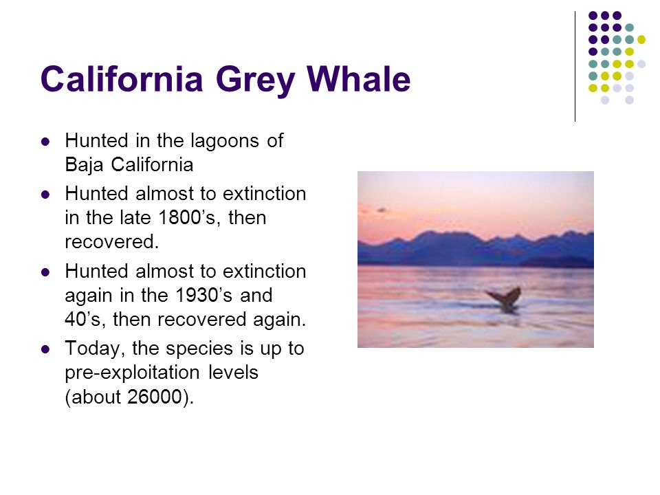 California Grey Whale Hunted in the lagoons of Baja California