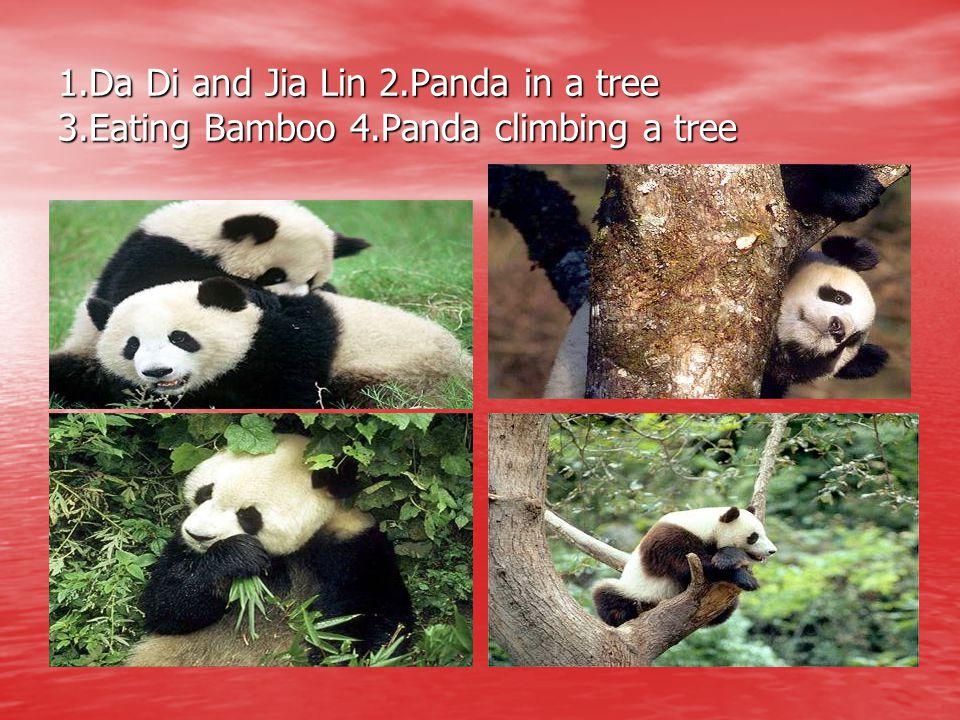 1. Da Di and Jia Lin 2. Panda in a tree 3. Eating Bamboo 4