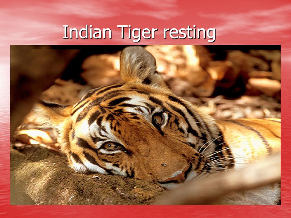 Indian Tiger resting
