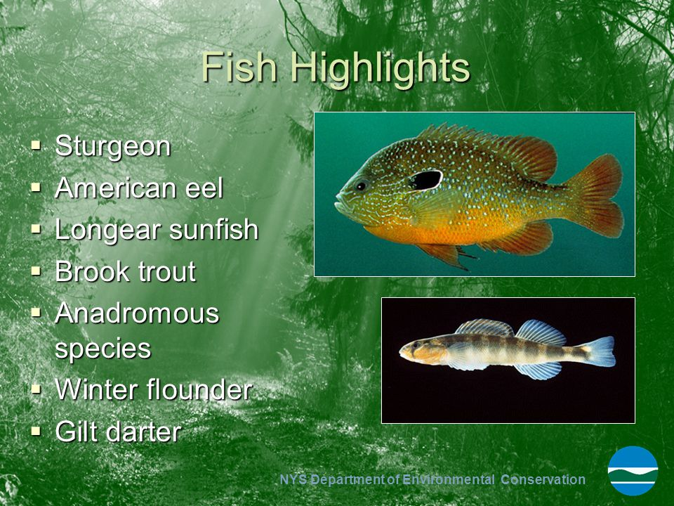 Fish Highlights Sturgeon American eel Longear sunfish Brook trout