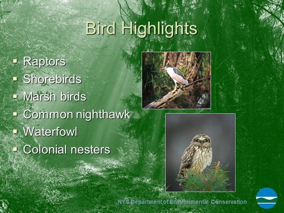 Bird Highlights Raptors Shorebirds Marsh birds Common nighthawk