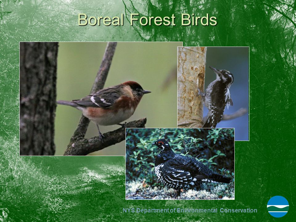 Boreal Forest Birds