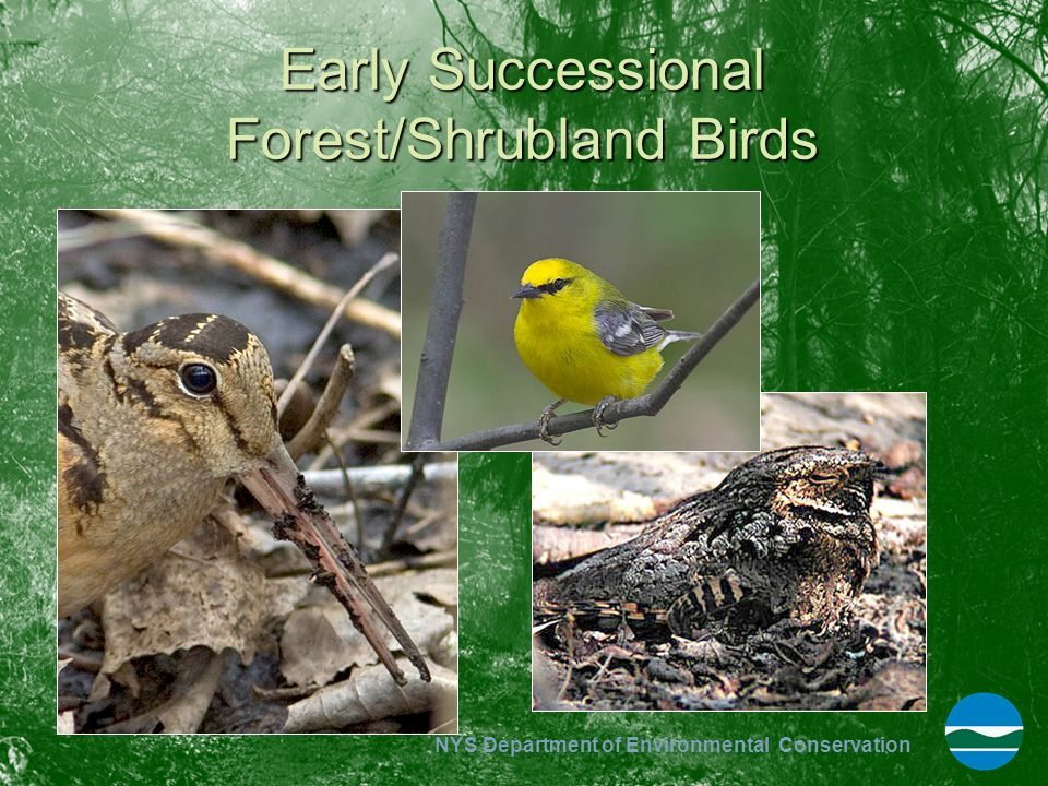 Early Successional Forest/Shrubland Birds