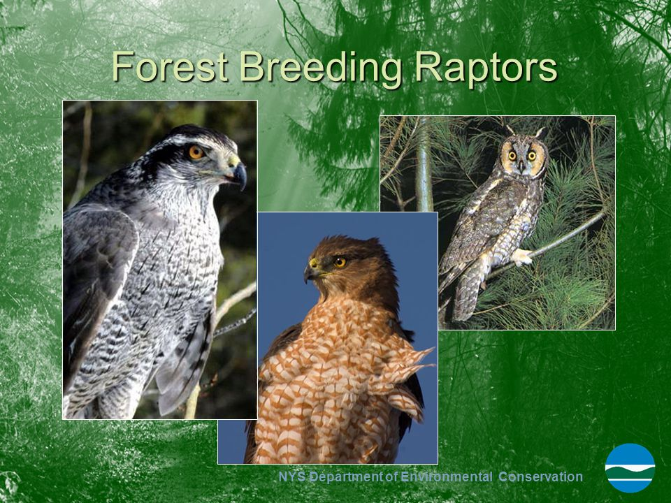 Forest Breeding Raptors