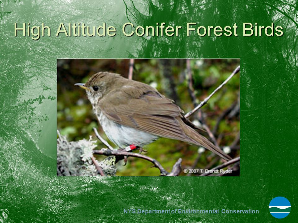 High Altitude Conifer Forest Birds