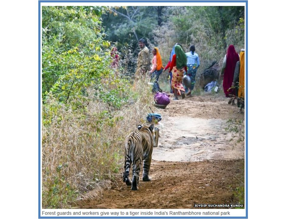 There are about 1,700 tigers left in the wild in India