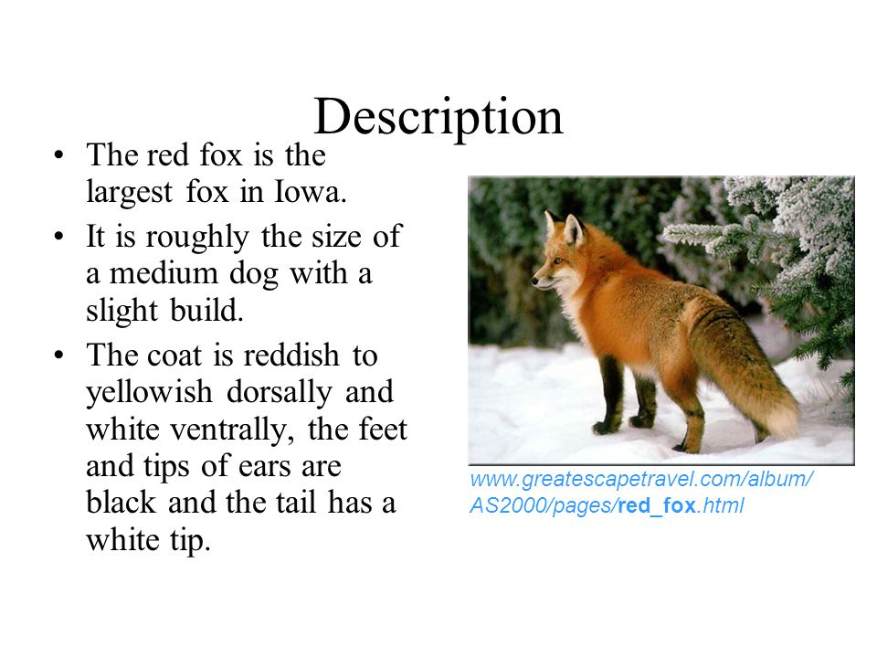 Description The red fox is the largest fox in Iowa.