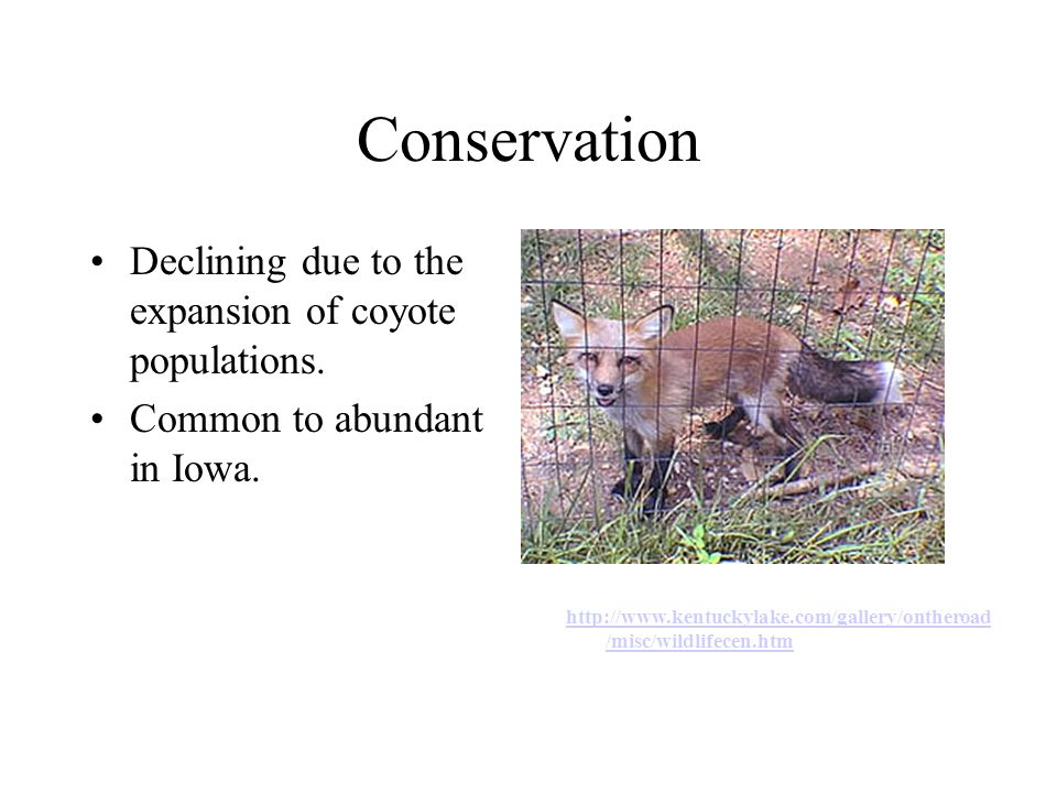 Conservation Declining due to the expansion of coyote populations.