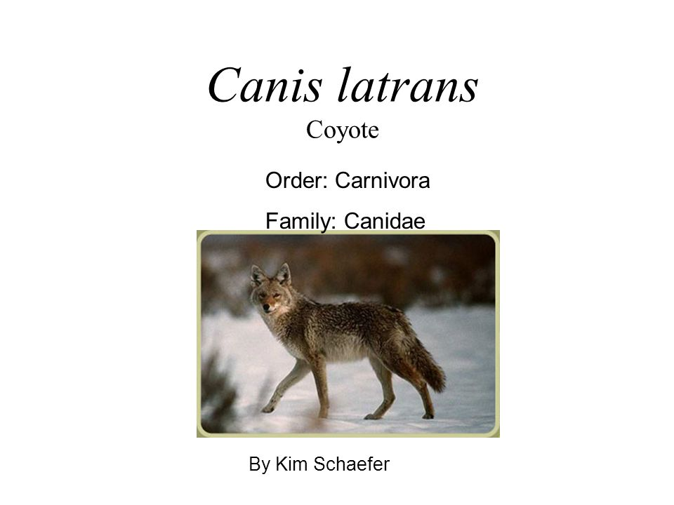 Canis latrans Coyote Order: Carnivora Family: Canidae By Kim Schaefer
