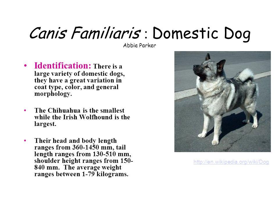 Canis Familiaris : Domestic Dog Abbie Parker