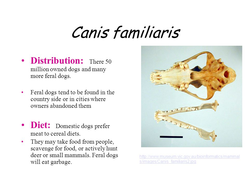 Canis familiaris Distribution: There 50 million owned dogs and many more feral dogs.