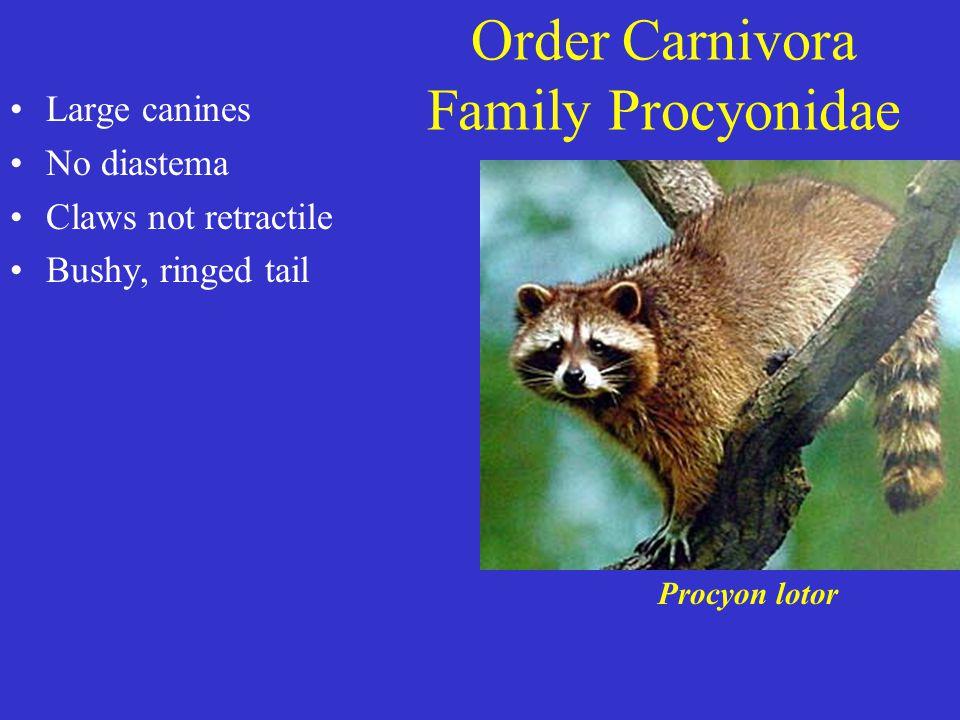 Order Carnivora Family Procyonidae