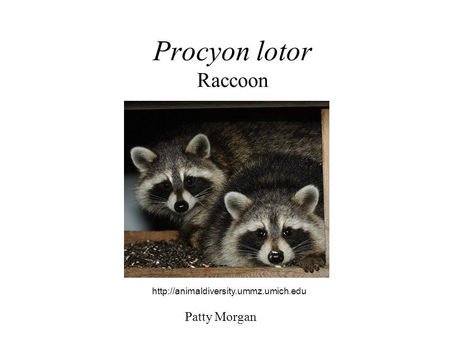 Procyon lotor Raccoon Patty Morgan