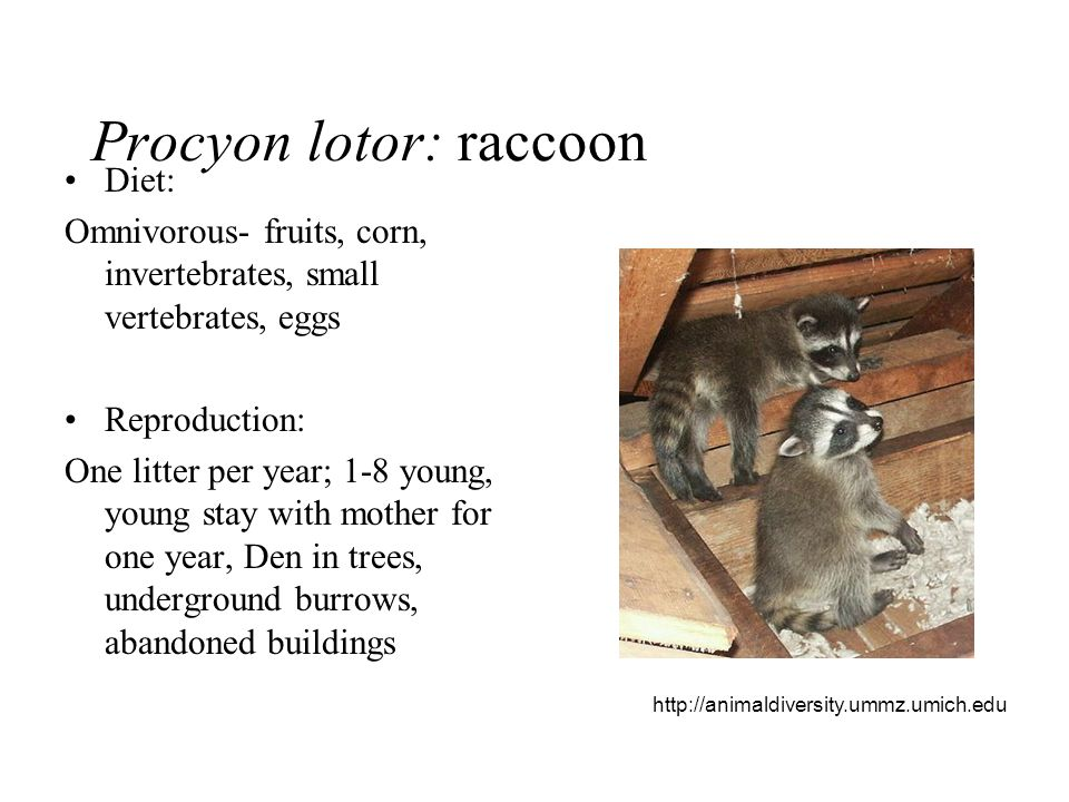 Procyon lotor: raccoon
