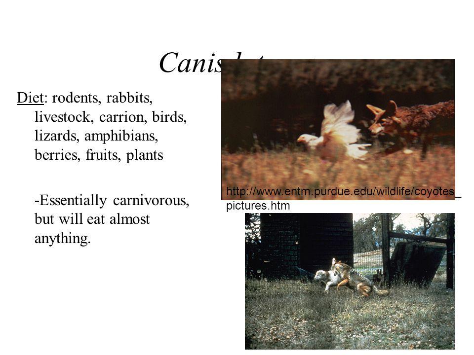 Canis latrans Diet: rodents, rabbits, livestock, carrion, birds, lizards, amphibians, berries, fruits, plants.