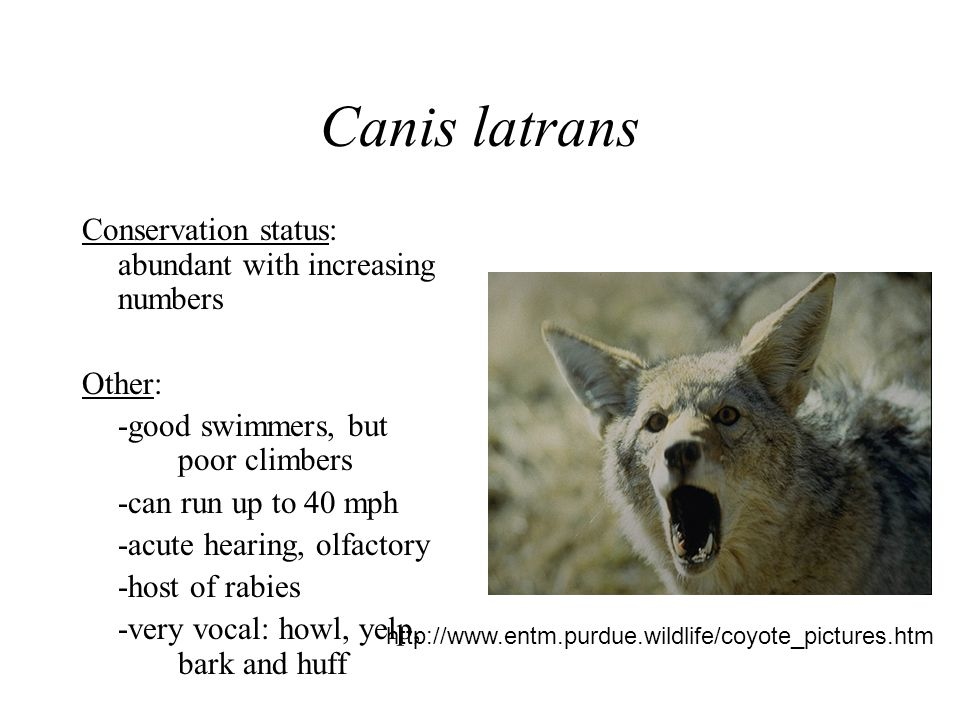 Canis latrans Conservation status: abundant with increasing numbers