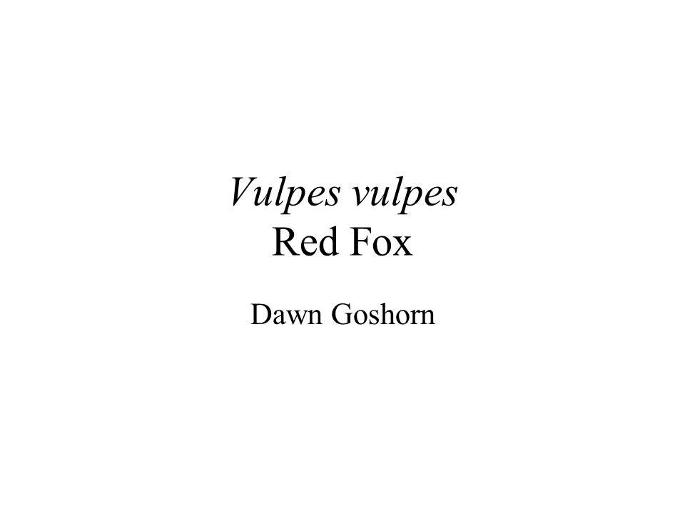 Vulpes vulpes Red Fox Dawn Goshorn