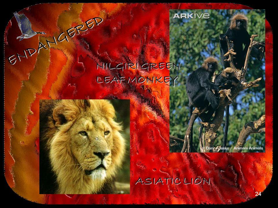 ENDANGERED NILGIRI GREEN LEAF MONKEY ASIATIC LION