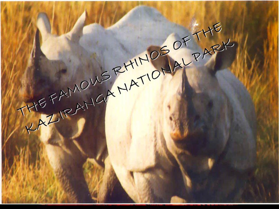 THE FAMOUS RHINOS OF THE KAZIRANGA NATIONAL PARK