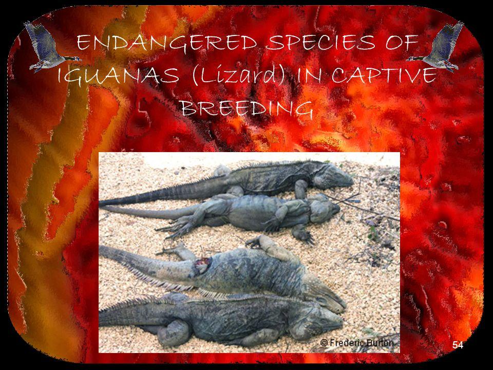 ENDANGERED SPECIES OF IGUANAS (Lizard) IN CAPTIVE BREEDING