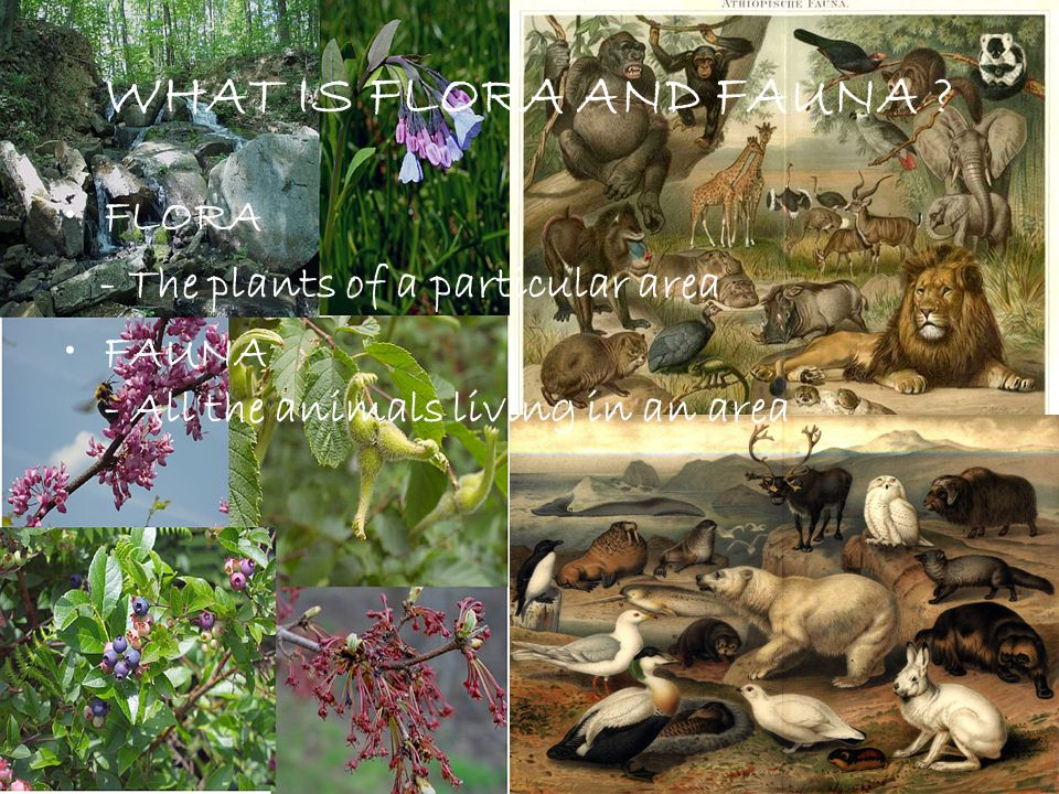 WHAT IS FLORA AND FAUNA FLORA - The plants of a particular area