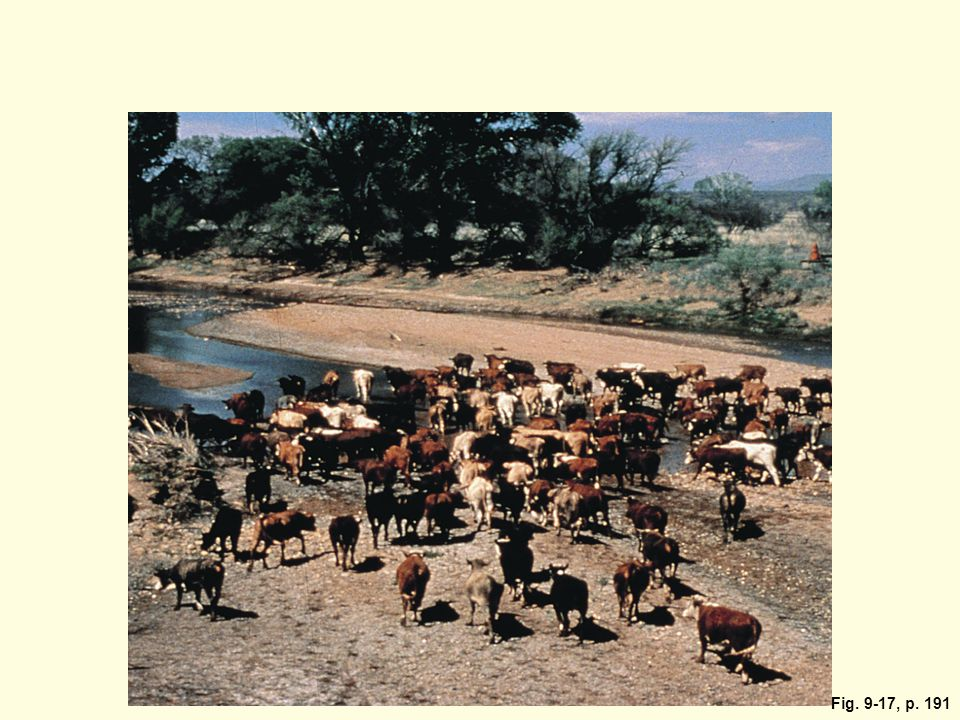 In the mid-80s cattle had degraded the vegetation and soil on this stream bank alongside the San Pedro River in Arizona