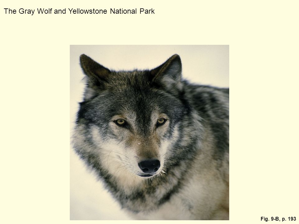 The Gray Wolf and Yellowstone National Park
