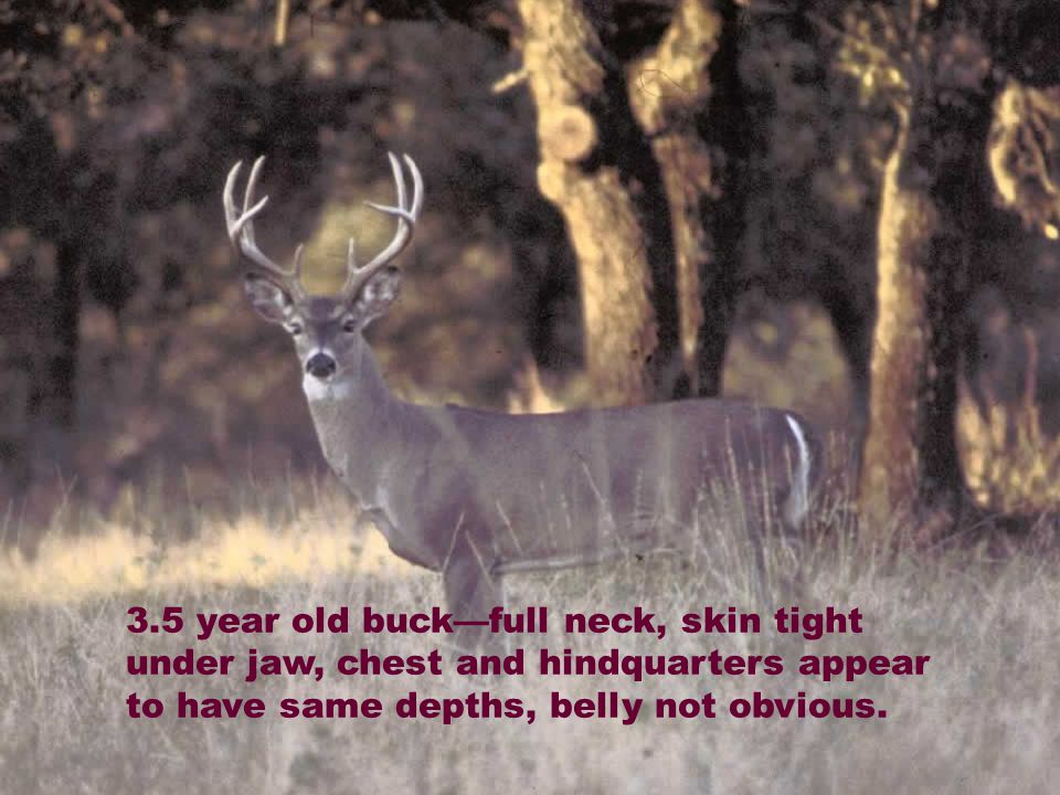 3.5 year old buck—full neck, skin tight under jaw, chest and hindquarters appear to have same depths, belly not obvious.