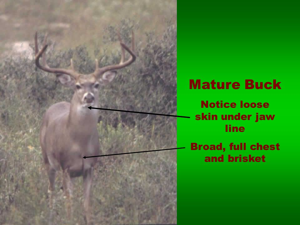 Mature Buck Notice loose skin under jaw line