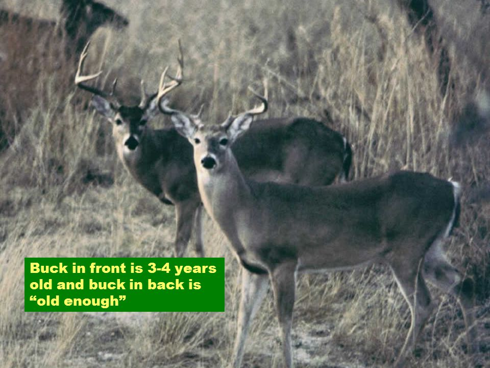 Buck in front is 3-4 years old and buck in back is old enough