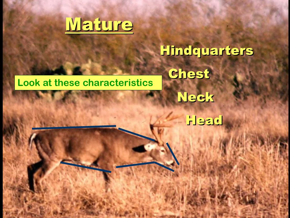 Mature Hindquarters Chest Neck Head Look at these characteristics