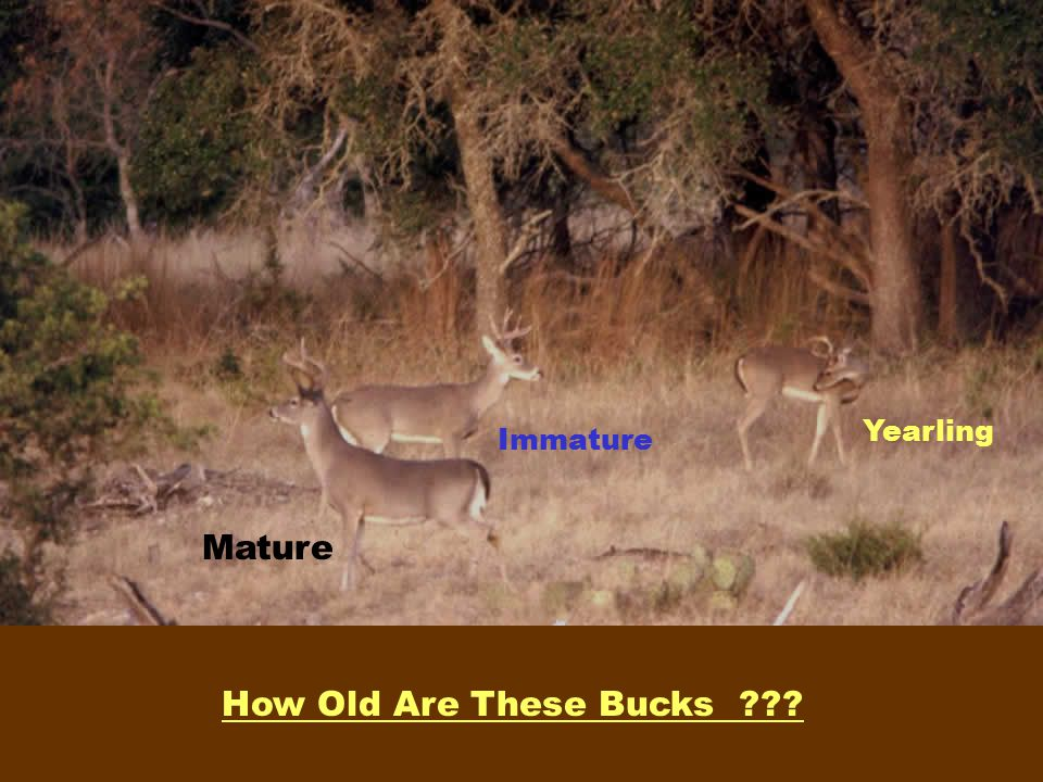 Yearling Immature Mature How Old Are These Bucks