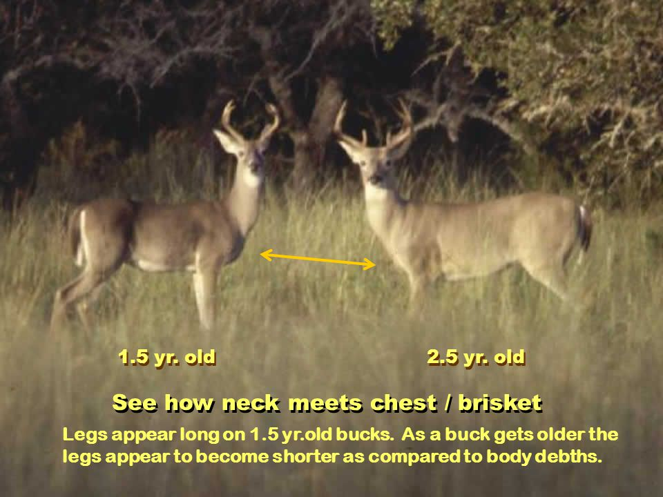 See how neck meets chest / brisket