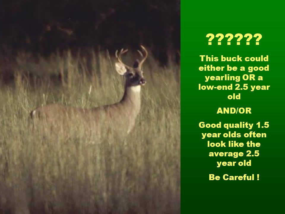 This buck could either be a good yearling OR a low-end 2.5 year old. AND/OR.