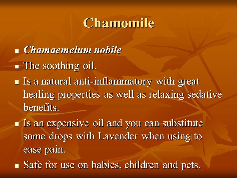 Chamomile Chamaemelum nobile The soothing oil.