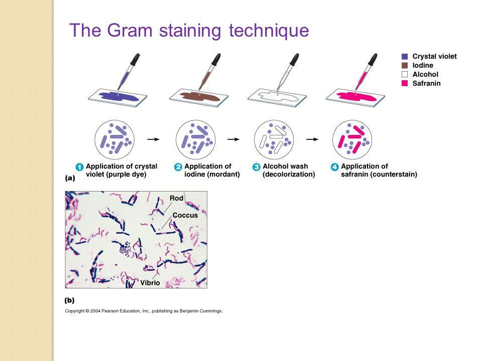 The Gram staining technique