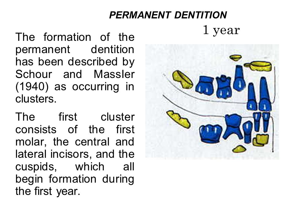 PERMANENT DENTITION 1 year.