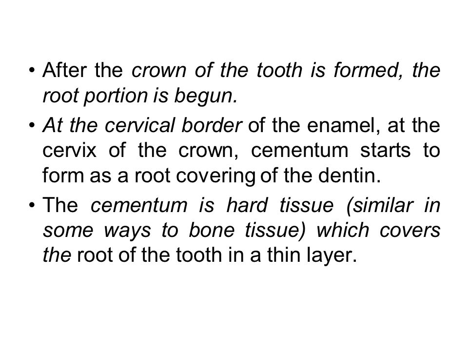 After the crown of the tooth is formed, the root portion is begun.