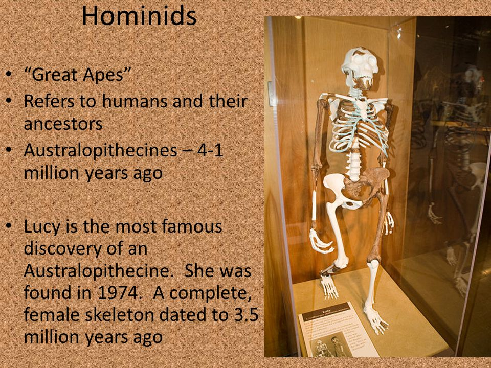 Hominids Great Apes Refers to humans and their ancestors