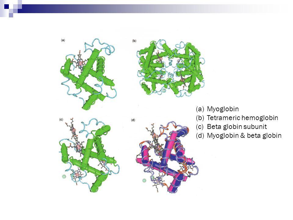 Myoglobin Tetrameric hemoglobin Beta globin subunit Myoglobin & beta globin