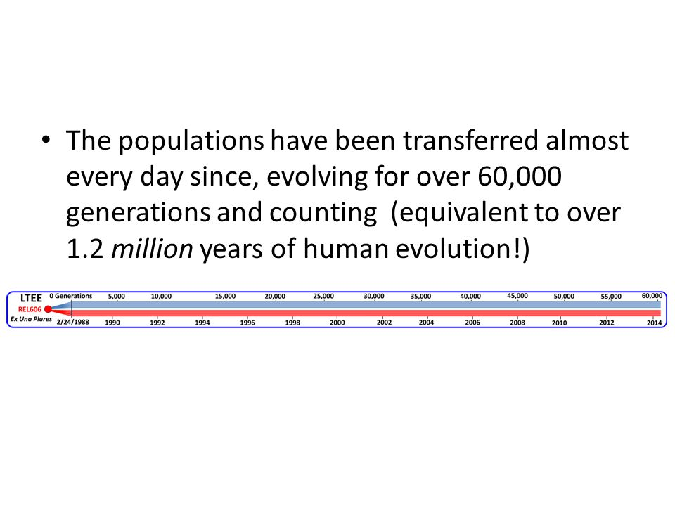 The populations have been transferred almost every day since, evolving for over 60,000 generations and counting (equivalent to over 1.2 million years of human evolution!)