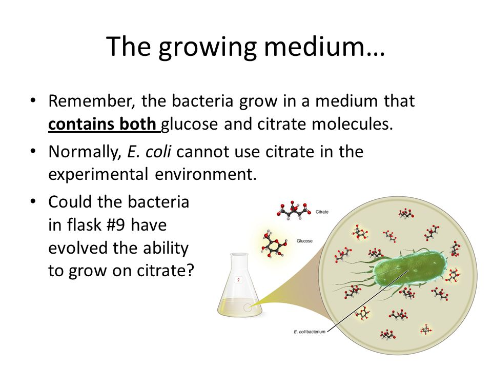 The growing medium… Remember, the bacteria grow in a medium that contains both glucose and citrate molecules.
