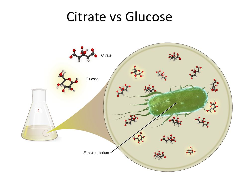 Citrate vs Glucose The nutrient broth has 139 μM glucose and 1700 μM citrate.