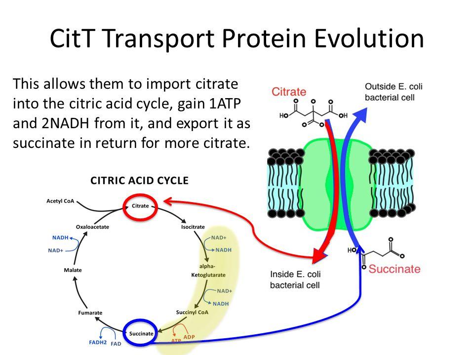 CitT Transport Protein Evolution